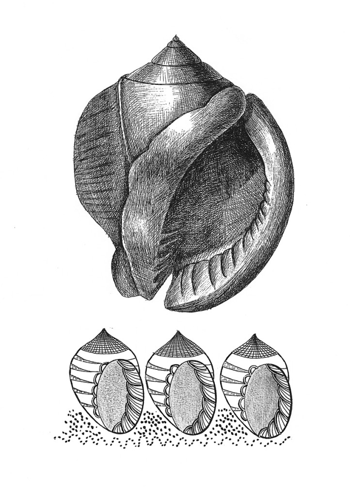 """Shell"". Stylization of natural element, rapidograph"